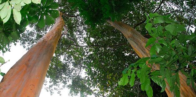 about-sacred-tree-essences